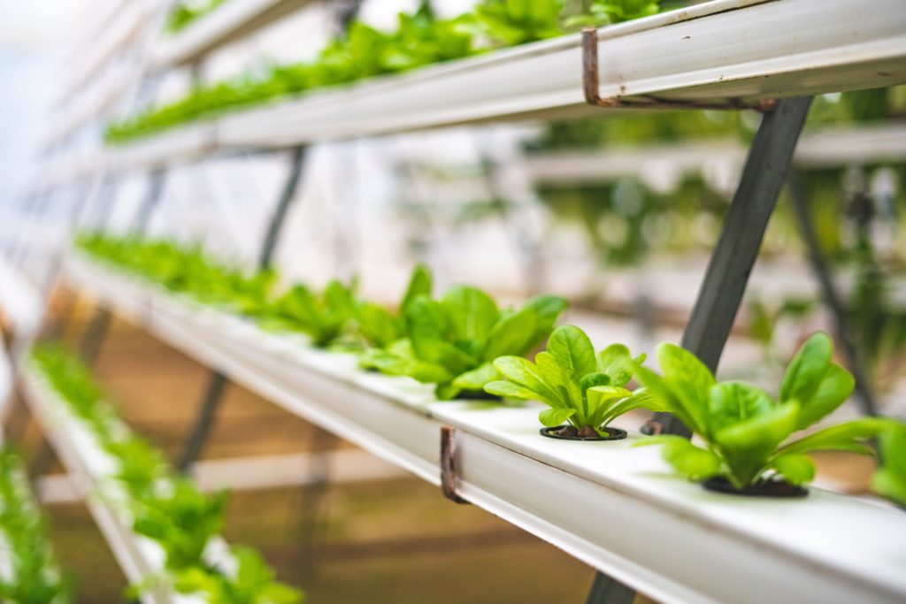 Lettuce growing in hydroponic systems